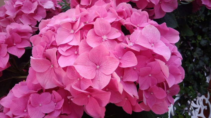 Flower Nature Pink Color Beauty In Nature Petal Outdoors Hydrengea Pink Pink Flower Flora Floral Feminine  Tiny Plant Garden Bouquet Blossom Blooming Blooming Flower Freshness Fragrance Bush Green Leaf Leaves