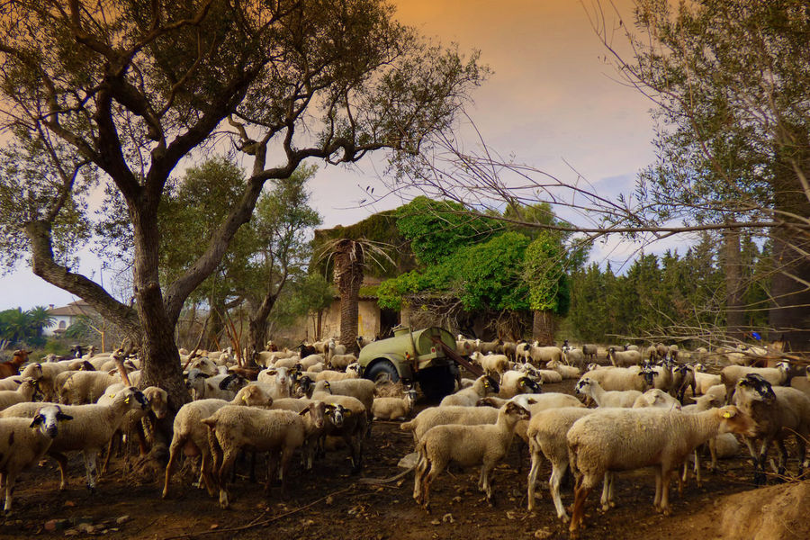 Animal Themes Beauty In Nature Day Domestic Animals Flock Of Sheep Flock Of Sheeps Grazing Large Group Of Animals Livestock Mammal Nature No People Outdoors Sheep Sky Tree