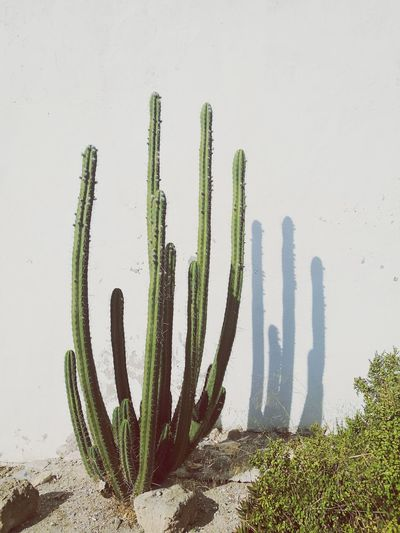 Cactus growing against white wall