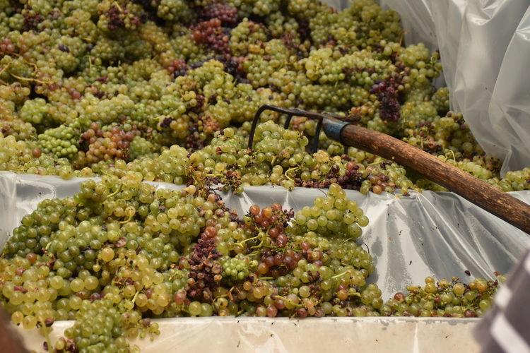 Bunch of grape in vineyard