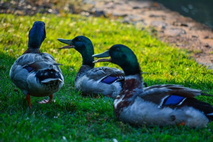 A couple of quacks! Check This Out EEA3 - Greenville EEA3 Hanging Out Love To Take Photos ❤ EyeEm Best Shots Elegance Everywhere Ducks EyeEm Nature Lover