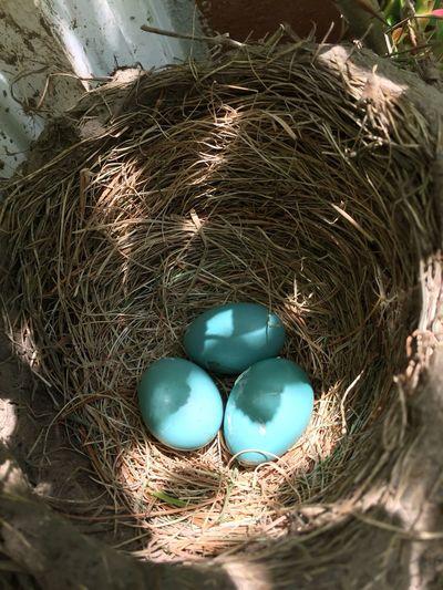 Birds egg in nest Birds Eggs Close-up Birds Nesting Bird Nest Blue Green Eggs... Egg Eggs In The Nest Bird Nests Nest