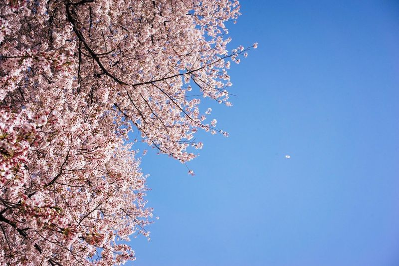 Beauty In Nature Blossom Blue Branch Change Cherry Blossom Cherry Tree Clear Sky Day Flower Flowering Plant Fragility Freshness Growth Kinuta Park Low Angle View Nature No People Outdoors Pink Color Plant Sky Spring Springtime Tree
