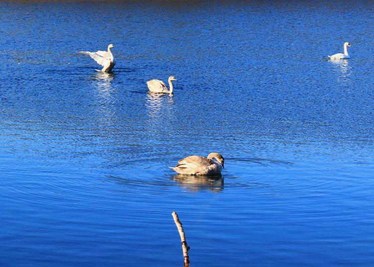 Swan Swans