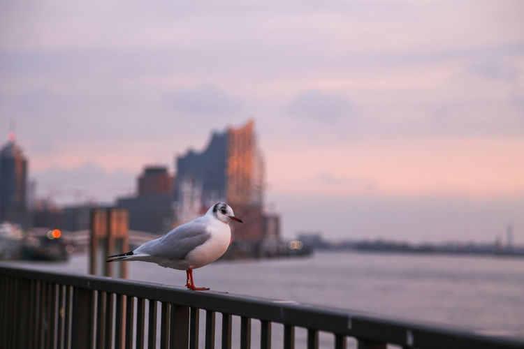 Seagull perching on railing against sky during sunset