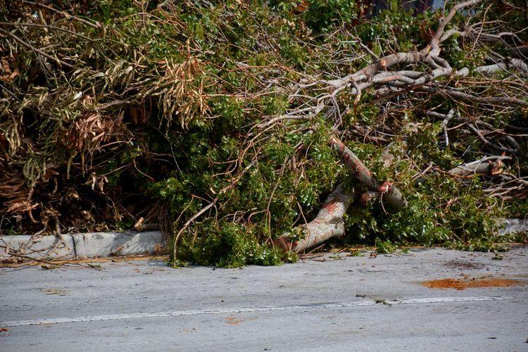 Hurricane Irma mess... Hurricane Irma 2017 Hurricane Damage Downed Tree Outdoors Downed Trees Storm Debris Debris Tree TreePorn South Florida Roadside Mess Aftermath Cleanup Landscape Piles Of Wood Fallen Tree Hurricane Season  No People