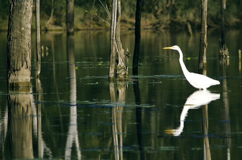 Side view of great egret in lake
