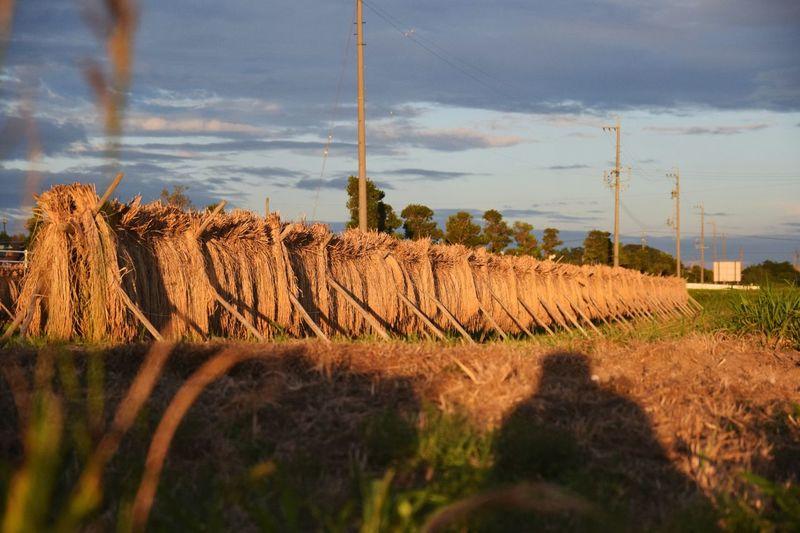 稲架 Rack For Drying Rice Rice Field Japan Tradional Japan Sunset Autumn Nature And Me