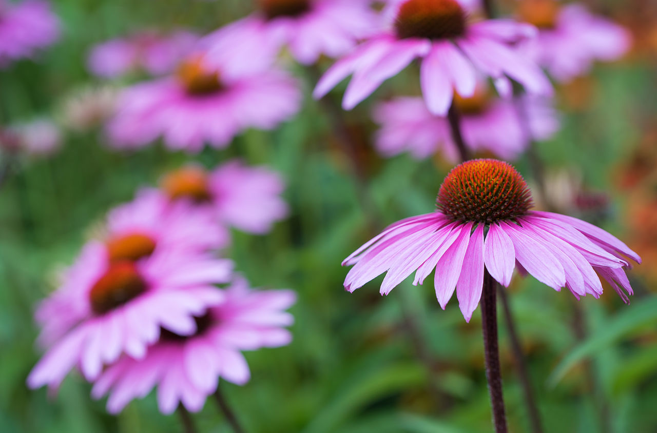Close-Up Of Coneflowers Blooming