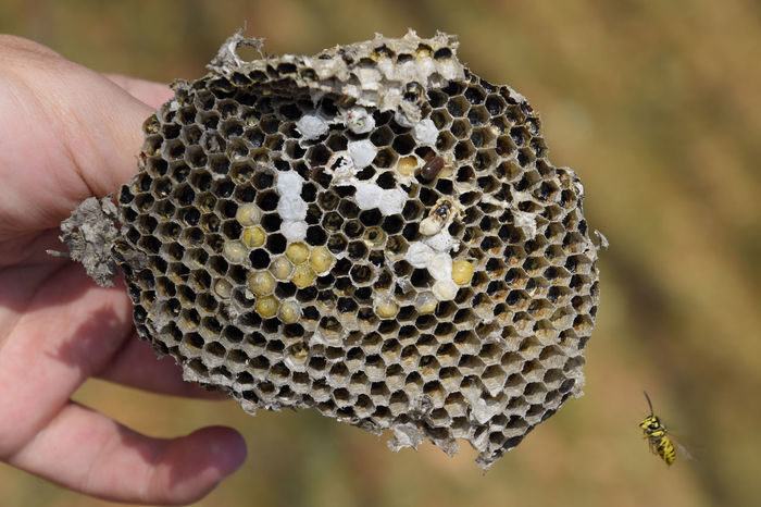Vespula vulgaris. Destroyed hornet's nest. Drawn on the surface of a honeycomb hornet's nest. Larvae and pupae of wasps. vespula, vulgaris, wasp, mink, nest, fly, destroyed, gutted, killed, collapsed, dead, dismantled, pulled, larvae, pupae, death, excavated, sting, predator, forager, insect, striped, hymenoptera, animals, colony, insects, macro, nature, poisonous, summer, stinger, antenna, filigree, stinging, bee, hexagon, hornet, bug, wasps, chew, wing, fragility, common, pollen, laying, wood, paper, honey, arthropoda, vespiary Vespula Vespula, Vulgaris, Wasp, Mink, Nest, Fly, Destroyed, Gutted, Killed, Collapsed, Dead, Dismantled, Pulled, Larvae, Pupae, Death, Excavated, Sting, Predator, Forager, Insect, Striped, Hymenoptera, Animals, Colony, Insects, Macro, Nature, Poisonous, Summer,  Vulgaris Wasp