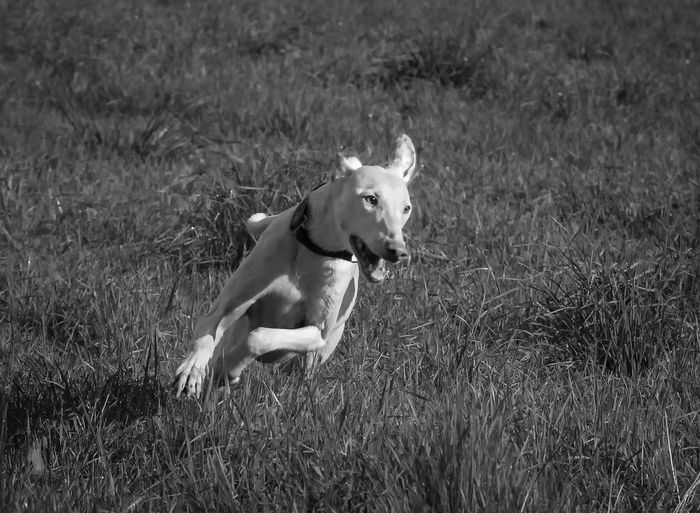 Animal Animal Themes Day Dog Domestic Animals Field Focus On Foreground Full Length Grass Grassy Ibizan Hound Livestock Mammal One Animal Outdoors Pets Podenco Ibicenco Running Speedboat Tranquility