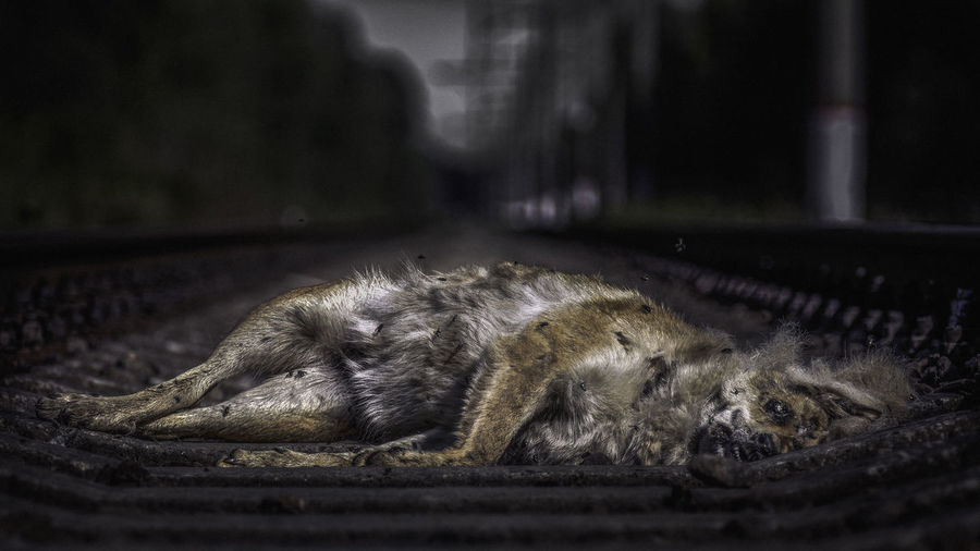 a dead dog is lying on the rails Animal Themes Animals In The Wild Close-up Day Domestic Animals Domestic Cat Feline Lying Down Mammal No People One Animal Outdoors Pets Relaxation Sleeping Dog Photography Dog Portrait Dead Animal Dead Dog  Decay Decayed Beauty Decaying EyeEmNewHere Stray Animal End Plastic Pollution My Best Photo