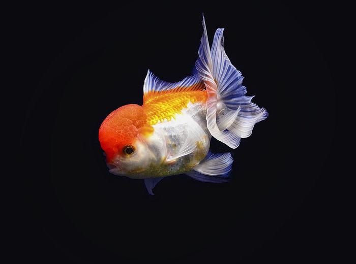 Close-up of goldfish swimming on black background