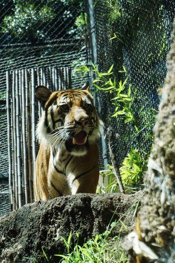 One Animal Animal Themes Tiger Zoo No People Nature San Diego Zoo Stripes
