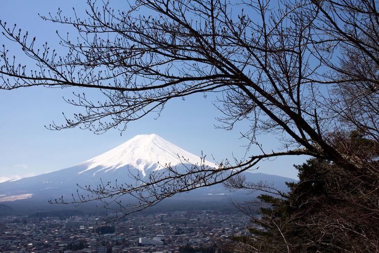 Fuji Tree