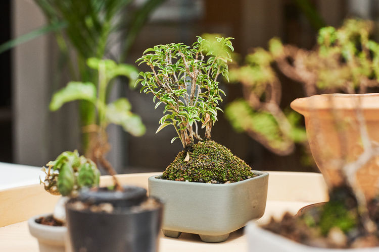 Bonsai Tree Plant Potted Plant Growth No People Green Color Nature Selective Focus Close-up Day Table Focus On Foreground Outdoors Beauty In Nature Freshness Wood - Material Plant Part Leaf Botany Houseplant Flower Pot