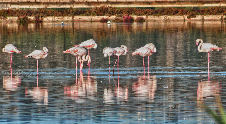 Animal Themes Animal Wildlife Animals In The Wild Beauty In Nature Bird Day Flamingo Flamingos Flamingos In Water Large Group Of Animals Nature No People Pink Color Reflection Wading Water