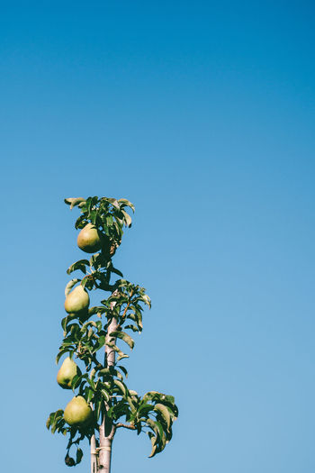 4pears Clear Sky Fall Fall Beauty Food Foodphotography Fruit Fruits Low Angle View New Life No People Organic Pear RePicture Growth