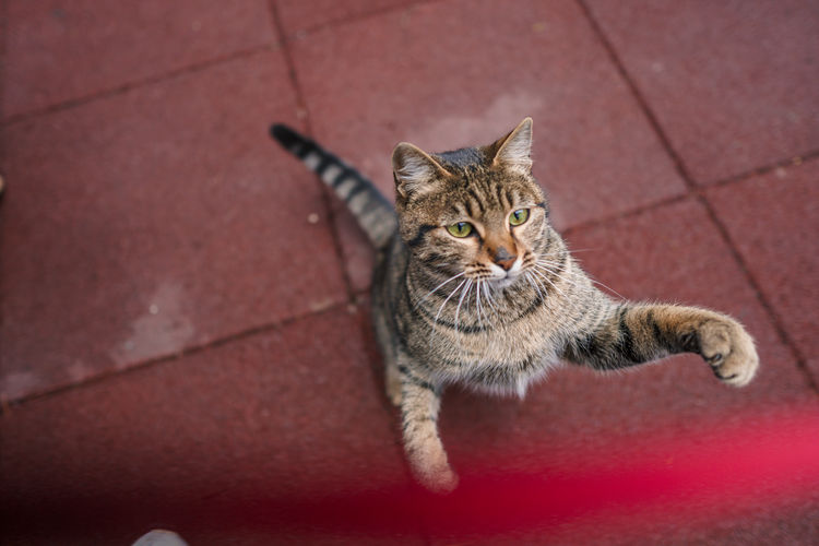High angle portrait of tabby cat on footpath