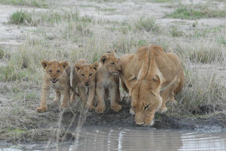 Lions by lake