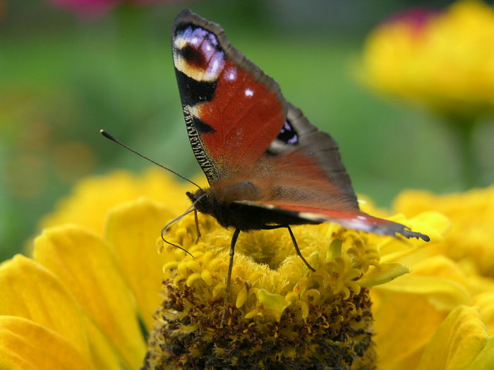Animal Themes Animal Wildlife Animals In The Wild Beauty In Nature Butterfly - Insect Close-up Day Flower Flower Head Focus On Foreground Fragility Freshness Growth Insect Nature No People One Animal Outdoors Perching Petal Plant Pollination Yellow
