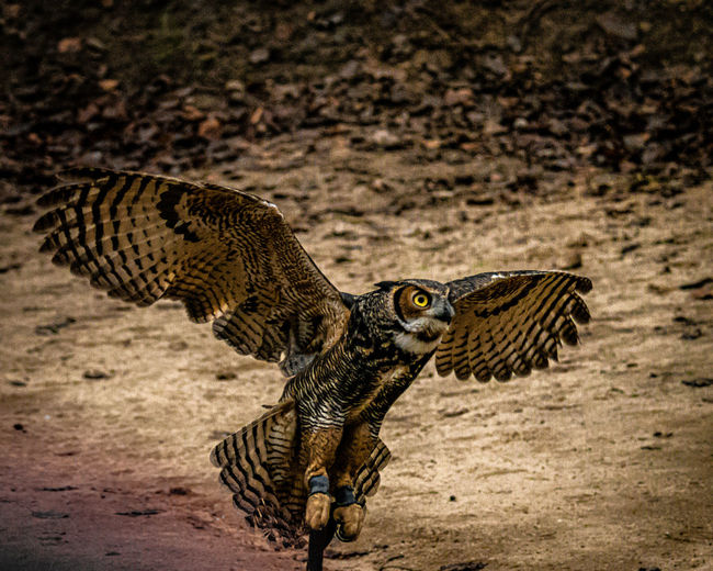 Close-up of eagle owl landing at beach
