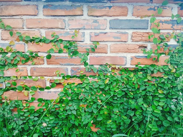 Coatbuttons on the old wall. Old Wall Plant Leaves On The Wall Leaves🌿 Green Young Leaves New Born Beauty In Nature Fragility Autumn Day Outdoors Nature Leaf Top Morning Decorative Plant Part Plant On A Wall