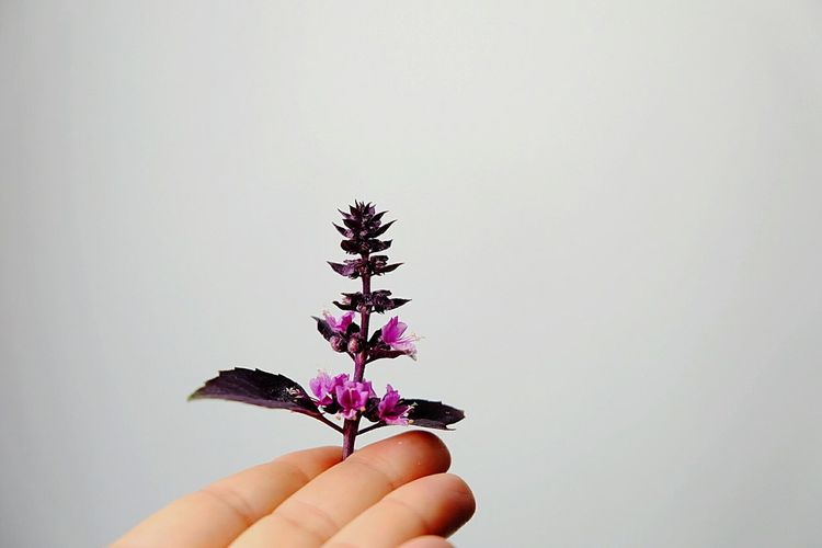 Close-up of human hand holding purple flowers against white background