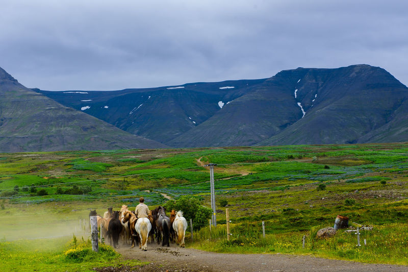 Icelandic horses going to pasture at meadow in mountains. Iceland Iceland Landscape Icelandic Horses Nordic\ Pasture Post Card Agriculture Beautiful Landscape Beauty In Nature Europe Horse Icelandic Horse Landscape Large Group Of Animals Mammal Meadow Mountain Mountain Range Nature Outdoors Scenics Wallapper First Eyeem Photo