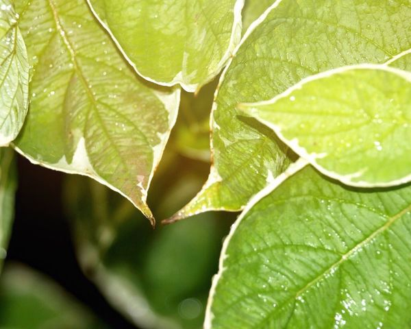 Leaf Growth Green Color Plant Close-up Leaf Vein Natural Pattern Full Frame Selective Focus Nature Freshness Leaves Water Green Fragility Day Outdoors Beauty In Nature Extreme Close-up Focus On Foreground Togetherness Fresh On Eyeem  Macro Botany Nature