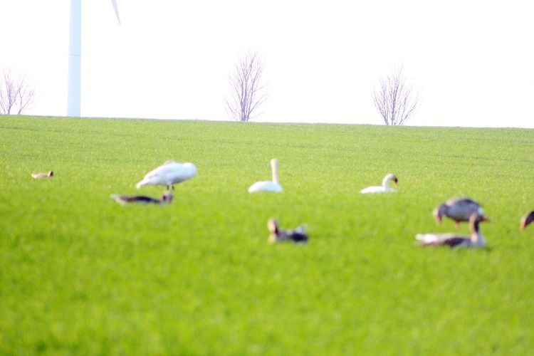 Swans Bird Togetherness Rural Scene Agriculture Field Flock Of Birds Grazing Grass Sky