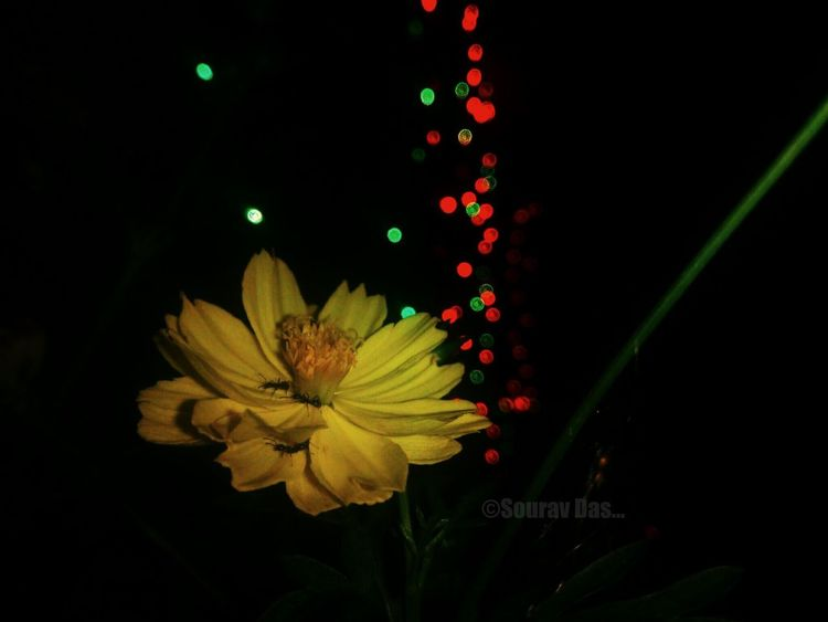 Flower Black Background Green Color No People Yellow Fragility Nature Petal Plant Beauty In Nature Freshness Red Close-up Defocused Flower Head Outdoors Day