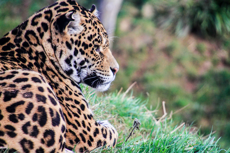 Close-Up Of Leopard On Grass