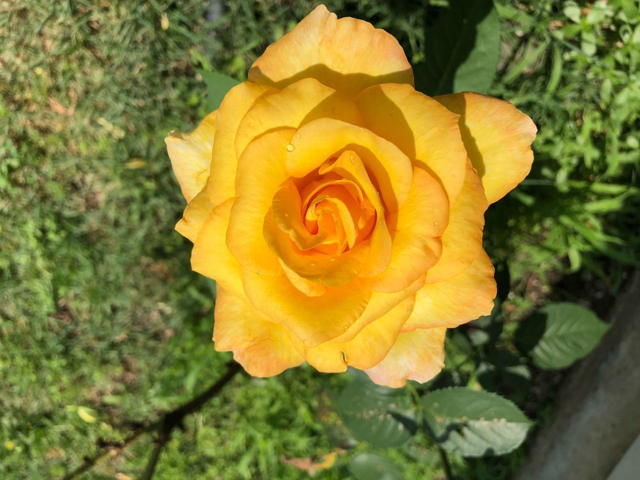 CLOSE-UP OF YELLOW ROSE IN BLOOM