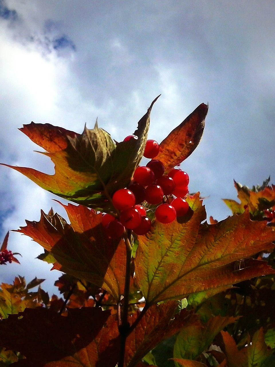 Low Angle View Of Red Currants Growing Against Sky