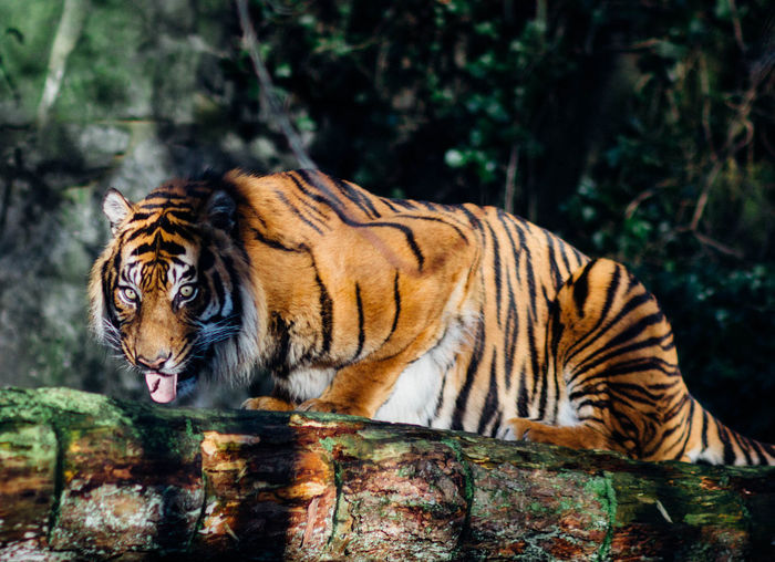 Tiger On Branch In Forest