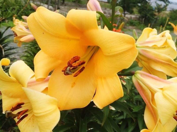 舞洲ゆり園、今年も行きたい❗️ Enjoying Life Last Year Pic Nature Yellow Lily Flowers Osaka,Japan 舞洲ゆり園 百合 花 黄色