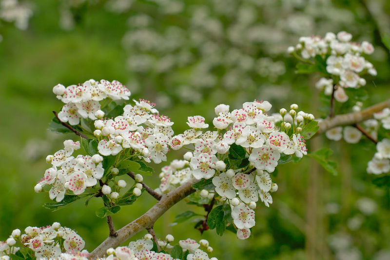 Many white hawthorn blossoms with pink anthers, selective focus with green bokeh background Plant Freshness Growth Springtime Nature Close-up Outdoors Garden Green Flower Flowers For My Friends Flora Floral White Blossoms  Hawthorn Branch Tree Shrub Lilac Inflorescence Botany White Color Flower Head Petal