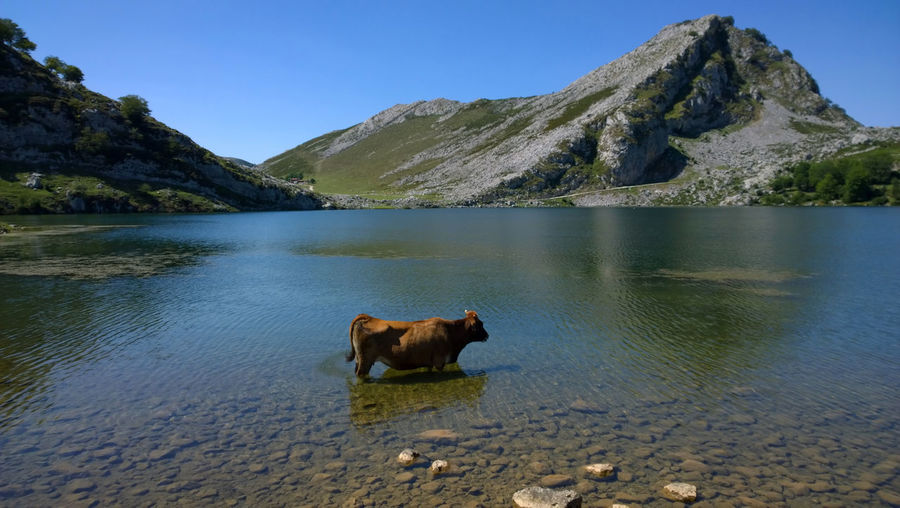 Cow standing at lake by mountain against clear blue sky