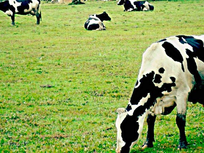 Cow Crew Hanging Out Hello World Check This Out EyeEm Nature Lover Nature Animal_collection Farm Life Green Cow Nova Petrópolis
