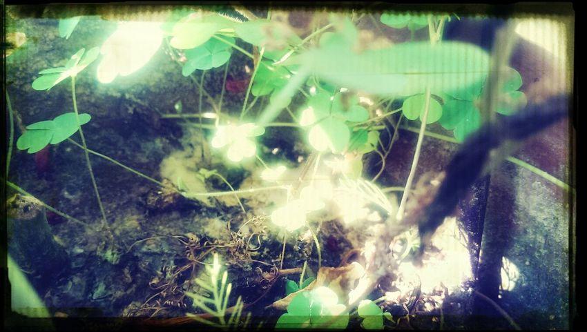花盆儿里的三叶草~
