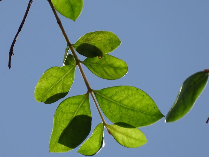 Close-up of green leaves against clear blue sky