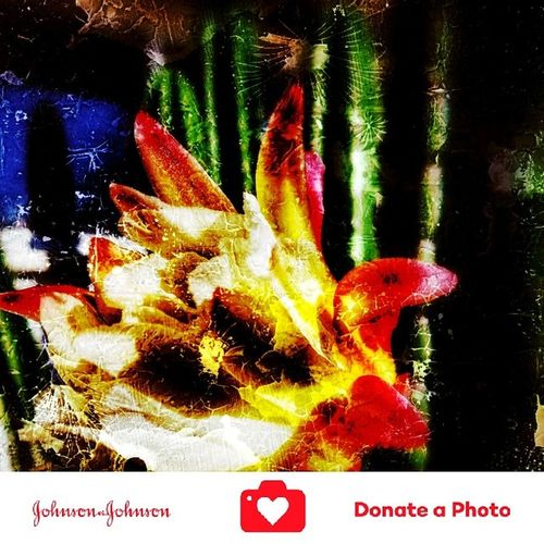 Special effects on a catus flowering plant color inhanced 12 hour once a year bloom flower No People Outdoors Close-up Day Flower Head Beauty In Nature Flower Johnson And Johnson Donate A Photo Donate J&j To Better Lives Johnson & Johnson Donate To Help Plants Photography Special Effects Collection Catus Plant Nature Catus Flower Color Enhanced Growth