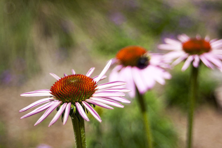 Close-Up Of Eastern Purple Coneflowers Blooming At Park
