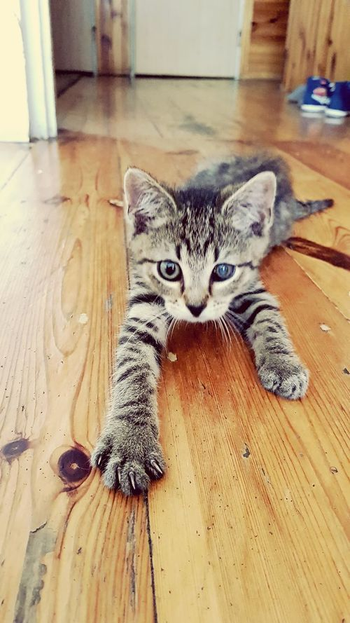 Pets Domestic Cat Animal Themes One Animal Domestic Animals Hardwood Floor Mammal Looking At Camera No People Close-up Pet Portraits The Week On EyeEm