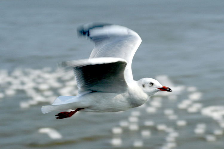 Animal Themes Animal Wildlife Animals In The Wild Beauty In Nature Bird Black-headed Gull Close-up Day Flying Focus On Foreground Lake Motion Nature No People One Animal Outdoors Seagull Spread Wings Water Water Bird White Color