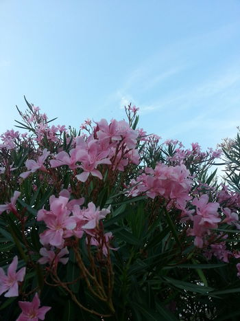 Flower Pink Color Fragility Freshness Nature Beauty In Nature Springtime Blossom No People Plant Growth Day Outdoors Sky Flower Head Close-up Oleander Flowers Summer Oleander