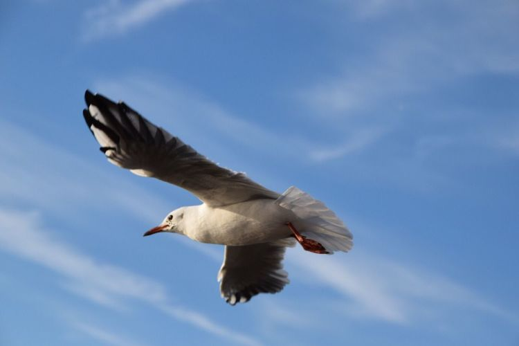 Wildlife Seagull Bird Animals In The Wild Flying Low Angle View One Animal Sky Blue Cloud - Sky Beauty In Nature