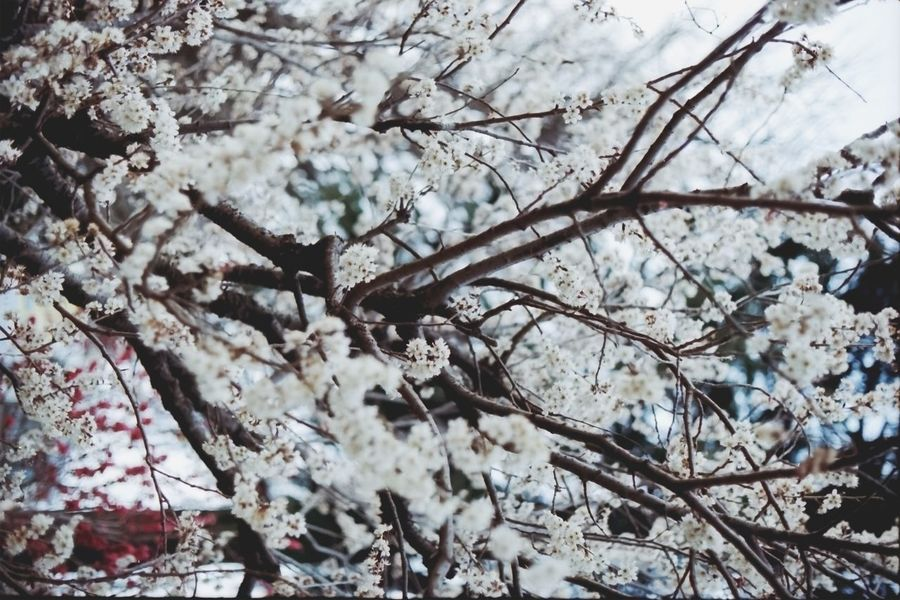Tree Nature Branch Beauty In Nature Growth No People Backgrounds Close-up Full Frame Outdoors Day Low Angle View Freshness Fragility Flower Film Photography Filmcamera Film135 Nikon EyeEmNewHere Cherry Blossoms Cherry Blossom Tree Nikonf2
