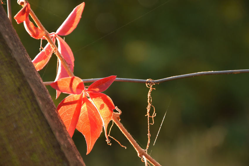 Red ivy leaves Ivy Leaves Parthenocissus Autumn Beauty In Nature Change Close-up Day Fence Focus On Foreground Fragility Ivy Plant Leaf Leaves Nature No People Orange Color Outdoors Plant Plant Part Red Sunlight Vulnerability  EyeEmNewHere